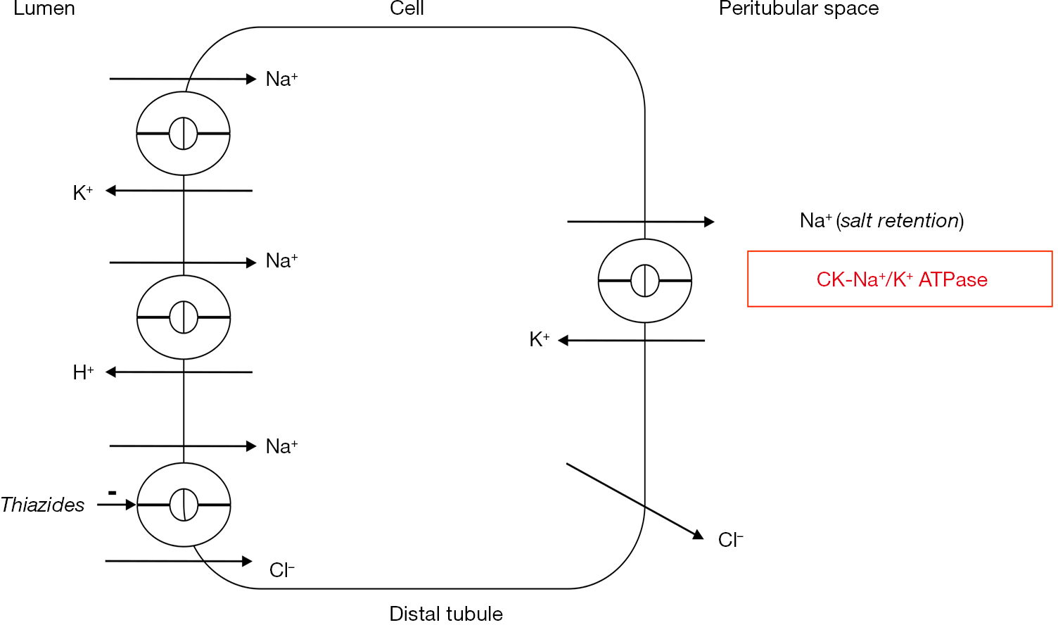 Figure 5 Creatine kinase and sodium retention. Renal sodium retention is  driven by basolateral Na+/K+ ATPase (15). Depicted is the kidney distal  convoluted ...