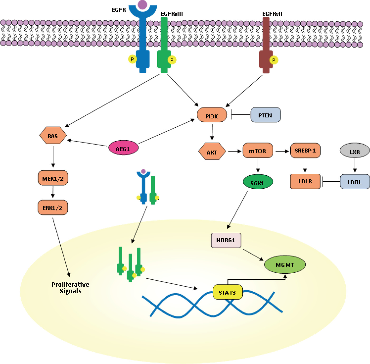 corticosteroids mechanism of action review